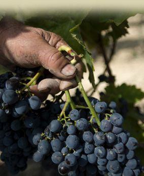 Terreno ad alta vocazione vitivinicola, con vigneto a spalliera fornito di impianto di irrigazione e trivella. I vitigni coltivati sono : Nero d